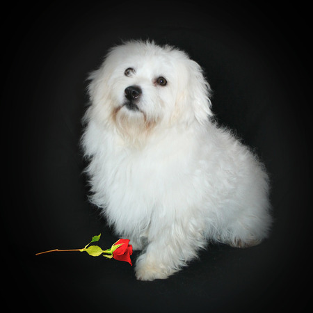 Bruno - our Coton de Tulear Boy
