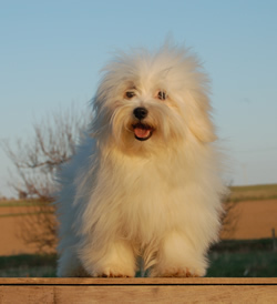 Happy Coton de Tulear
